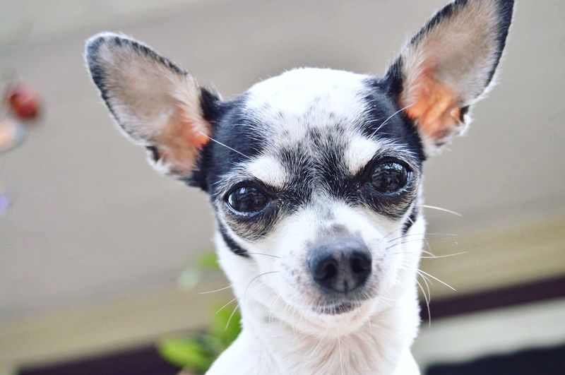 Looking At Camera Pets One Animal Portrait Animal Themes Dog Close-up Day Chihuahua Outdoors 2017