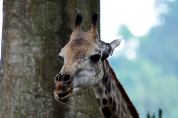 Wildlife and forestry Animal Body Part Animal Neck Animal Nose Animal Wildlife Animals In The Wild Close-up Day Domestic Animals Focus On Foreground Giraffe Herbivorous Looking Mammal Nature No People One Animal Outdoors Snout Vertebrate Zoo