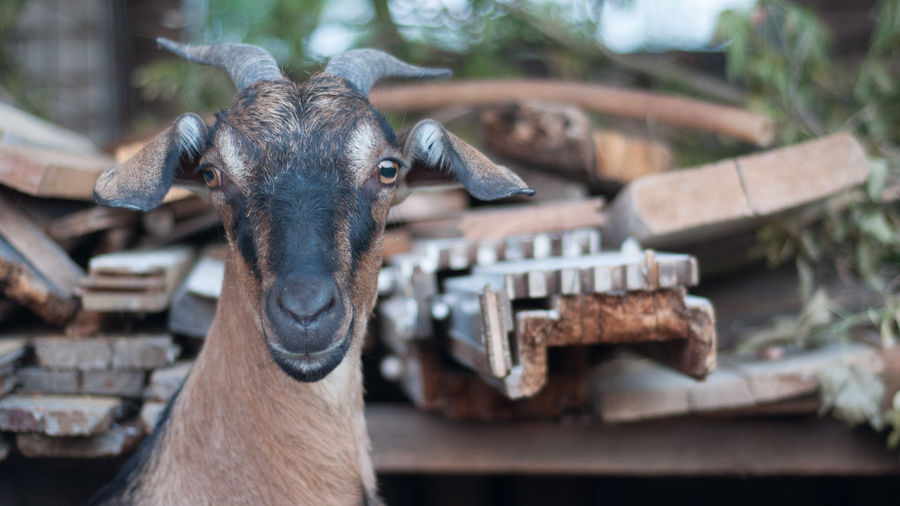 Close-up portrait of goat by rusty metals