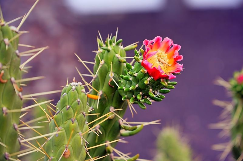 cactus 02 Plant Growth Flower Beauty In Nature Flowering Plant Close-up Freshness Nature Focus On Foreground Green Color Succulent Plant No People Fragility Vulnerability  Cactus Day Plant Part Leaf Thorn Flower Head Outdoors Lanzarote Cactus