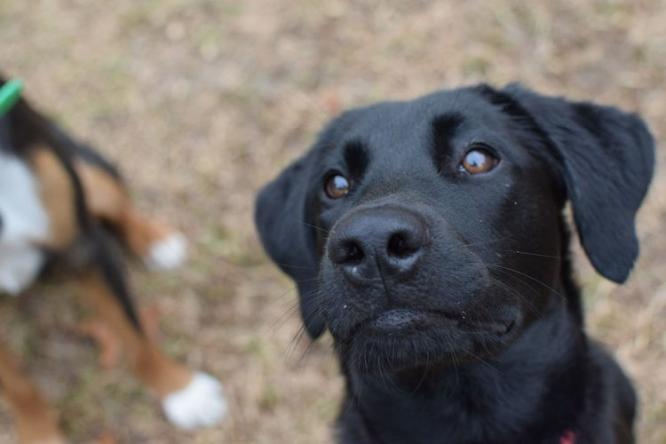 Close-Up Portrait Of Black Labrador Dog
