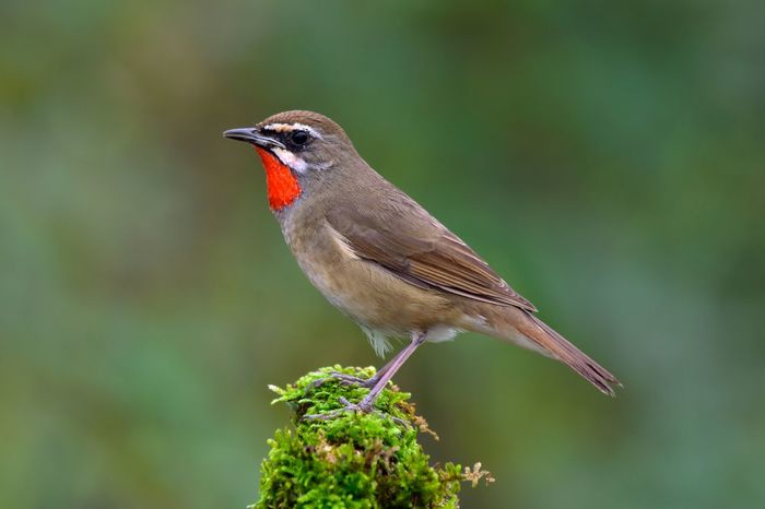 Siberian Rubythroat and Bluethroat on branch green background Photography Bird Watching Green Forrest Flying Asian  Thailand Summer Nature Forest Wild Life Wildlife Siberian Siberian Rubythroat Animal Bird Animal Themes Animals In The Wild Perching Focus On Foreground Animal Wildlife Nature Outdoors Tree Beauty In Nature First Eyeem Photo