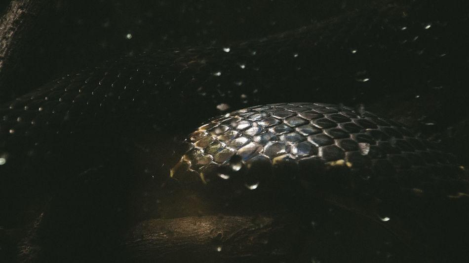 Scaled Snake Close-up Indoors  Night No People Reptile Scaled Animal Scaled Skin EyeEm Ready