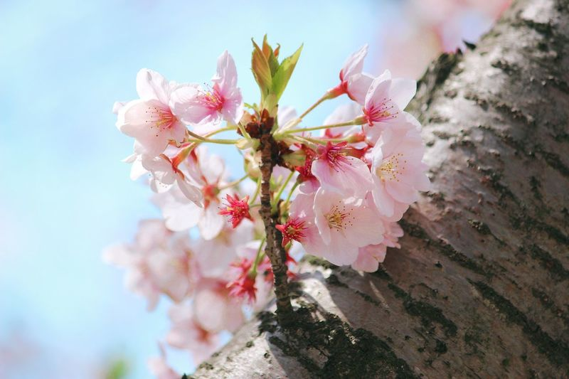 Flower Fragility Beauty In Nature Growth Petal Pink Color Nature Blossom Freshness Close-up Spring @Tree eSpringtime mlFlower Head aStamen eOutdoors cBlooming