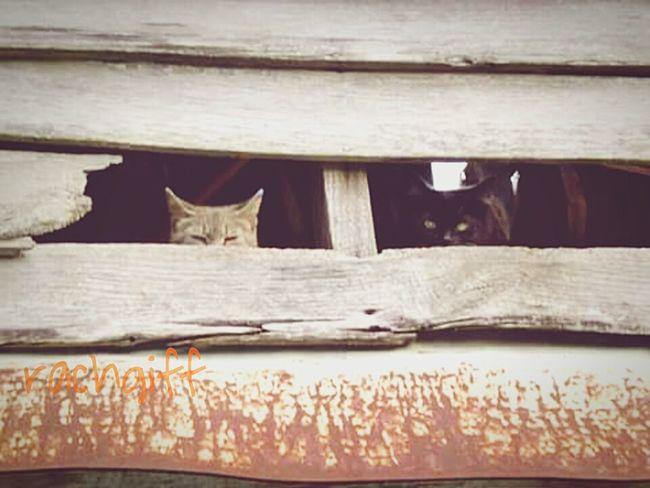 2 Cats Farmlife Wildcat Lazycats Sneeky