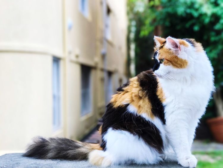 Cutie cat. Persian Cat  The Animal Life The Cat So Cute Domestic Animals Animal Themes Pets Mammal One Animal No People Domestic Cat Focus On Foreground Dog Feline Day Close-up Outdoors Portrait
