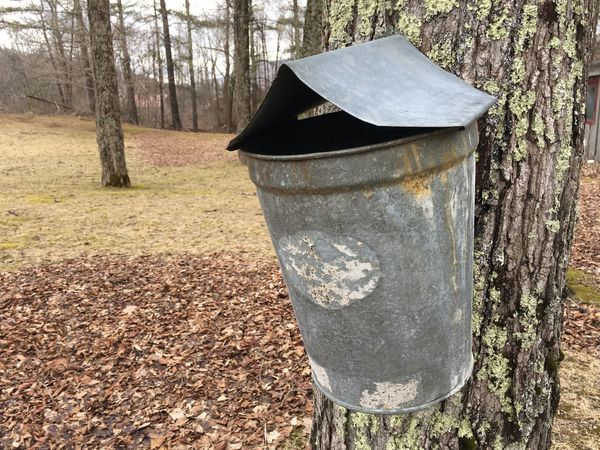 Maple sap pail in the Green Mountains of Vermont Green Mountains Maple Tree Maple Sap Harvesting Vermont Tree Day Plant No People Nature Land Outdoors Trunk Tree Trunk Forest Close-up Plant Part Growth