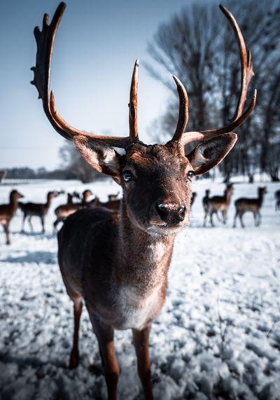 Portrait of deer standing on snow