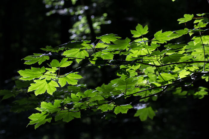 Leaves🌿 Leaves_collection Nature On Your Doorsteep Nature_ Collection  Nature Outdoors Green Color Light And Shadow No People Background Eye4photography  Ladyphotographerofthemonth Canonphotography The Week On EyeEm Beauty In Nature Forest