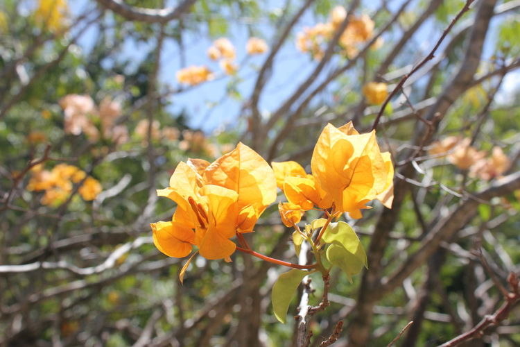Flowers of the Caribbean Flower Flowering Plant Plant Fragility Vulnerability  Yellow Growth Beauty In Nature Freshness Petal Close-up Focus On Foreground Nature Day Flower Head Inflorescence Outdoors No People Branch Tree Springtime Flowers Of The Caribbean