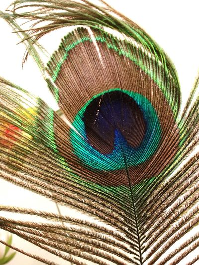 Natures real beauty.. Peacock Feather Peacock Colors Mobilephotography Incredibleindia Colourful Nature Childhood Memories Best  MyLifeMyWorldMyEverything My Snap Shots Aurangabad Hello World The Tourist Anmol Kekarjawlekar Enjoying Life Hi! Taking Photos