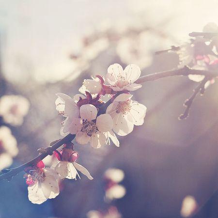 Spring Blossoming  Apricot Gently Popular Photo EyeEm Best Shots EyeEm Nature Lover Beautiful Eye4photography  Nature