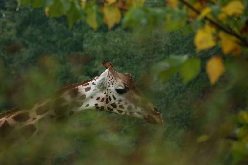 View of a giraffe through the leaves of trees.