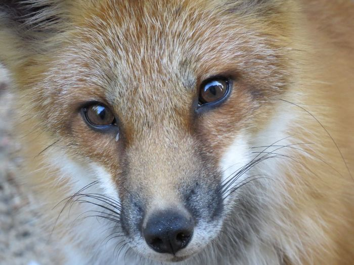 EyeEmNewHere Renard Roux Renard Beauty In Nature Foxy Fox EyeEm Selects One Animal Animal Themes Animal Mammal Close-up Portrait Animal Body Part Animal Wildlife Looking At Camera Animal Head  No People Animals In The Wild Eye Vertebrate Animal Eye Whisker Day Brown