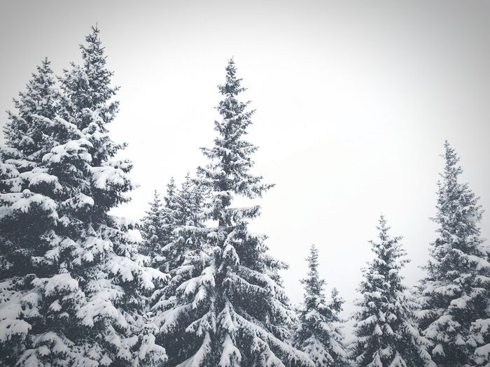 Snow White Backgrounds Wood Mountain Tree Pinaceae Pine Tree Forest Nature No People Day Fir Tree Sky Outdoors The Great Outdoors - 2018 EyeEm Awards The Traveler - 2018 EyeEm Awards