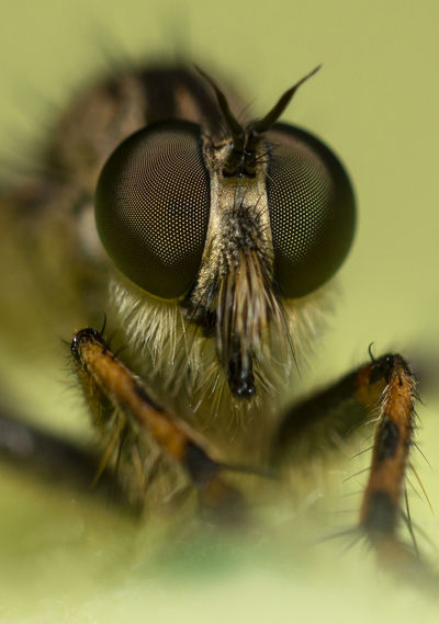 Robberfly Bug Nature Wildlife Outdoors Garden Eye Eyes Focusstacking Focus Stacking Closeup Macrophotography Insect Macro Close-up