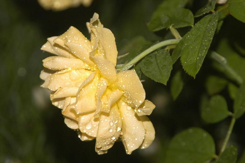 rainy yellow rose Jodie Sims Photography Photographer Photographerinoz Yellow Rosé Close Up Side Shoot Rain Flower Flower Head Leaf Yellow Close-up Plant