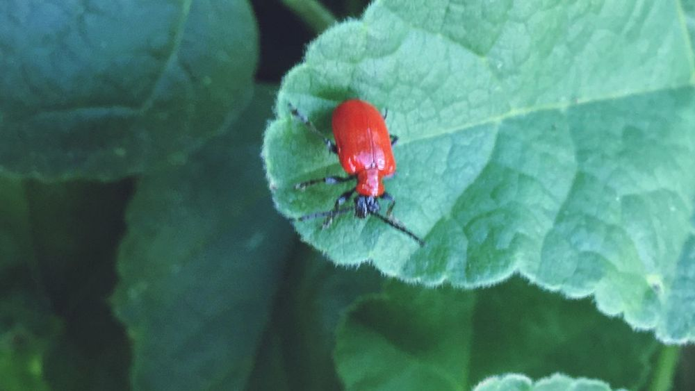 Naturelovers Insect Nature Photography Red Lilly Beetle Red Lily Beetle EyeEm Best Shots - Nature