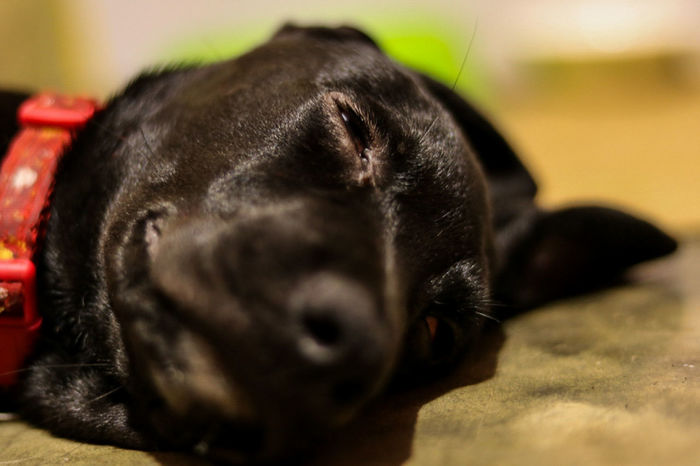 shhhh someone is sleeping One Animal Animal Themes Pets Close-up Black Color Mammal Dog Domestic Animals No People Canonphotography Canon_photos Eyeem Market From My Point Of View Black Puppy Black Puppy Sleeping Depth Of Field Focus On Midground Pet Puppy