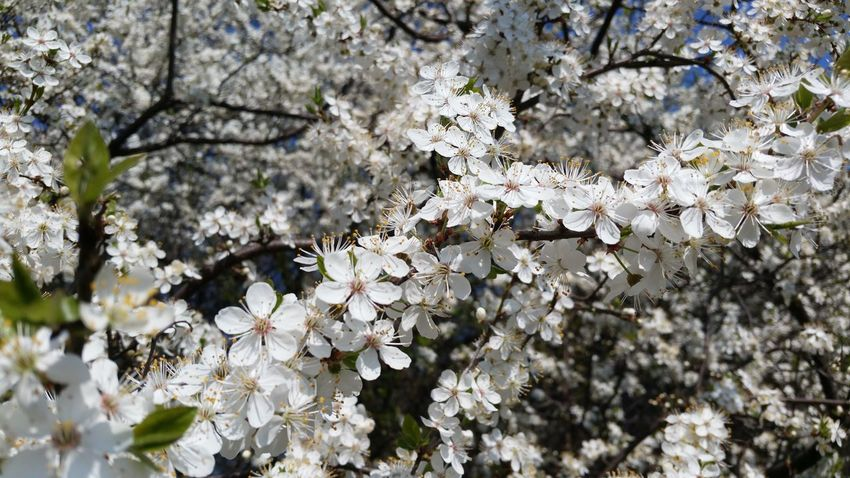 blooming tree Blooming Blooming Tree In Bloom No People No Edit/no Filter Backgrounds Desktop Wallpaper Softness Bloom Spring Springtime Plant Flower Flowering Plant Blossom Freshness Growth Beauty In Nature Fragility Tree Nature Day Cherry Blossom Branch Close-up White Color Cherry Tree