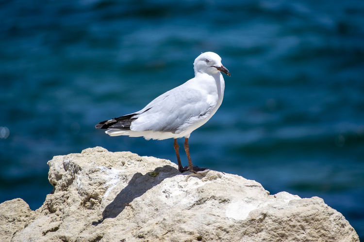 Seagull posing for a great shot. Coastline EyeEm Best Shots EyeEm Nature Lover EyeEmNewHere Animal Animal Themes Animal Wildlife Animals In The Wild Bird Coast Day Focus On Foreground Nature No People One Animal Perching Posing Rock Rock - Object Sea Seagull Solid Sunlight Vertebrate Water