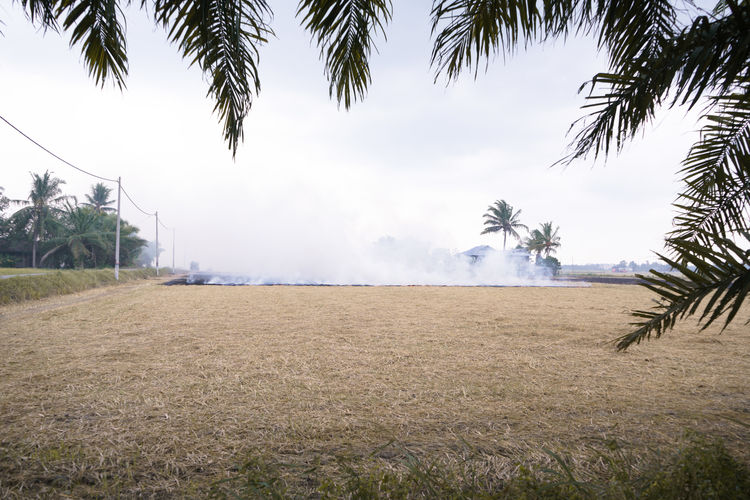 burning rice straw after harvest Environment Smoke White Smoke Pollution Black Fire Hot Art View Tree Irrigation Equipment Agriculture Sky Cloud - Sky Cultivated Land Rice Paddy Rice - Cereal Plant Farm Cereal Plant Farmland Agricultural Field
