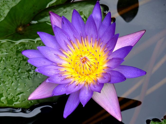 Water Lily flower, Hoi An, Vietnam ASIA Beauty In Nature Blossom Close-up Flower Flower Head Freshness Growth Hoi An In Bloom Leaf Lotus Lotus Water Lily Nature Petal Pond Purity Purple Single Flower Springtime Vibrant Color Vietnam Water Water Lily Zen