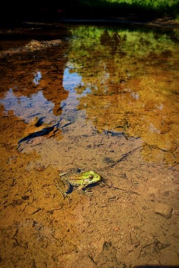 """Always enjoying the """"frog"""" days of Summer✨🐸🌞 Tadaa Community IPhoneography One Animal Animals In The Wild Animal Themes No People Nature Day High Angle View Outdoors Animal Wildlife Reptile Water Close-up Frog Natural Beauty Nature Photography"""
