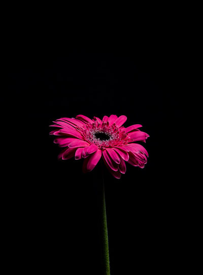 Flowering Plant Flower Vulnerability  Inflorescence Beauty In Nature Copy Space Pink Color Black Background Close-up Fragility Plant Freshness Studio Shot Nature Petal Flower Head Indoors  No People Growth Pollen Still Life