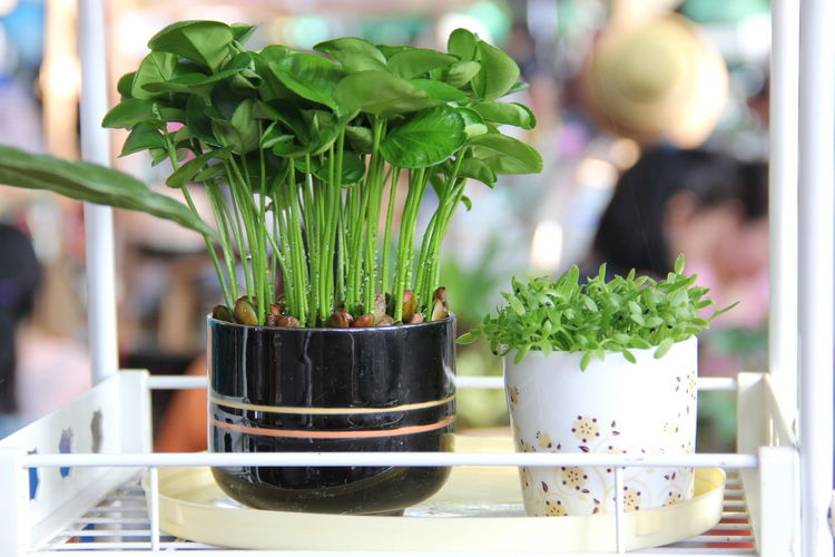 Beauty In Nature Close-up Day Flower Pot Focus On Foreground Food Food And Drink Freshness Green Color Growth Houseplant Indoors  Leaf Nature No People Plant Plant Part Potted Plant Still Life Succulent Plant Table