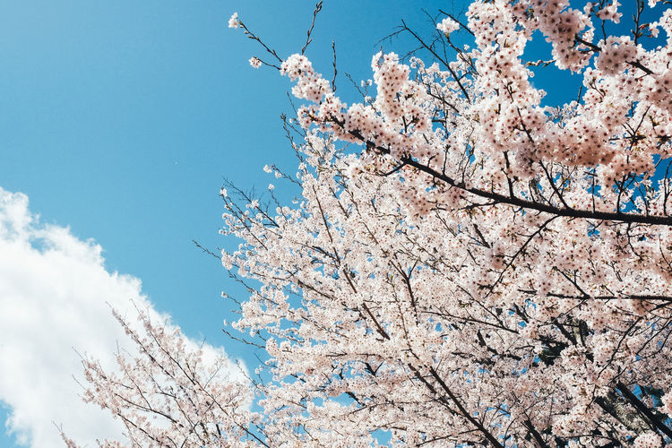 Sakura Tree Low Angle View Blossom Sky Fragility Plant Flowering Plant Branch Flower Springtime Cherry Blossom Vulnerability  Nature Beauty In Nature Freshness Growth Blue Day Cherry Tree No People Pink Color Outdoors Spring Sakura Sakura Blossom