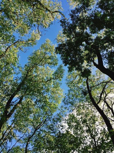 Tree Low Angle View Growth Nature Branch Day Forest Beauty In Nature Tranquility No People Outdoors Sky Blue Clear Sky