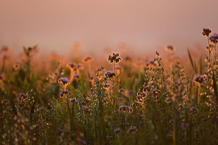 Close-up of purple flowering plants on field during sunset. glowing pink golden colour background.