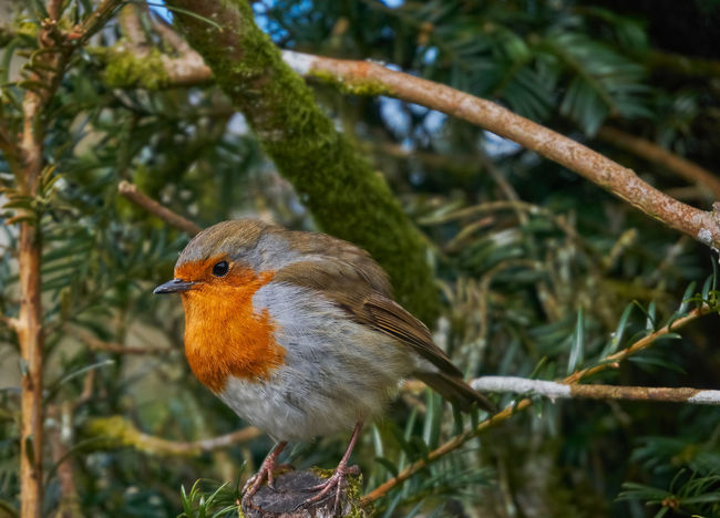 Animal Themes Animal Wildlife Animals In The Wild Beauty In Nature Bird Close-up Day Focus On Foreground Growth Nature No People One Animal Outdoors Perching Robin Tree