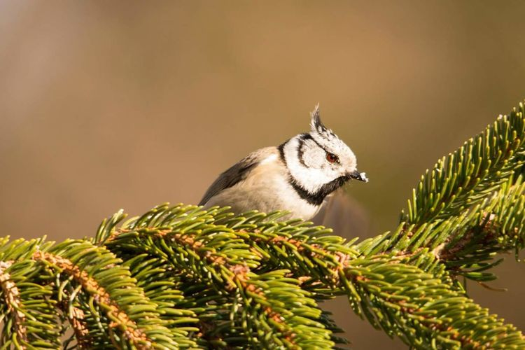 Close-Up Of European Crested Tit Perching On Pine Tree