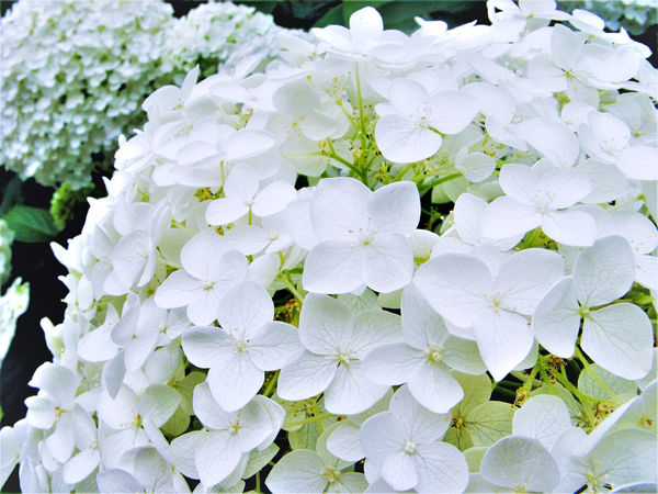 Beauty In Nature Blooming Close-up Day EyeEm Nature Lover Flower Flower Head Fragility Freshness Growth Hydrangea Hydrangea Flower Hydrangeas Nature No People Outdoors Petal Plant White White Color White Flower