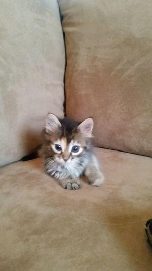 Kitten Cat Feline Maincoon Kitten No People