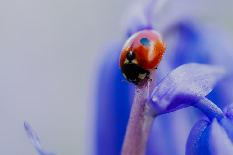 Animal Wildlife Close-up Animal Themes Animals In The Wild Ladybug Flower One Animal Animal Invertebrate Flowering Plant No People Insect Purple Beauty In Nature Freshness Beetle Blue Plant Selective Focus Orange Color Flower Head
