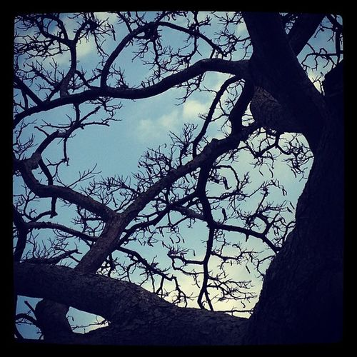 'LIKE' if you see the cat face!! Catscradle Catface Cat Faceinnature facesinnature tree trees trunk mililani mililanitowncenter nature veiny veins branches twigs sky evening