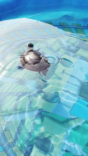 Painted Turtle Turtle Turtle Lover Pool Swimming Turtle Pool Fun  Nugget