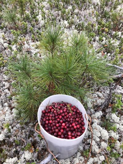 Cranberries and small cedar