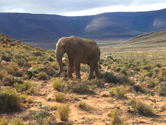 Elephant Africa South Africa Beauty In Nature Beauty Mountain Animal Themes One Animal Landscape Grass Adventure Safari Safari Park Safari Adventure Safari Animals