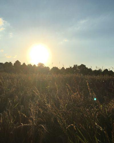 Summer Summer Fields Sunset Sunset #sun #clouds #skylovers #sky #nature #beautifulinnature #naturalbeauty #photography #landscape Krefeld KrefeldFischeln EyeEm Nature Lover