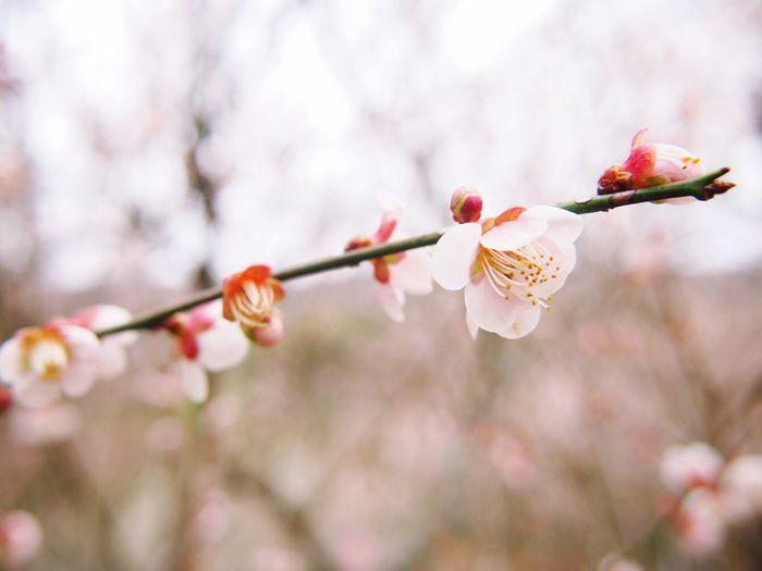 Pinkflowers Pink 梅 梅の里 梅の花 Okayama Canon Eoskissx7i 3/10 EyeEm Nature Lover