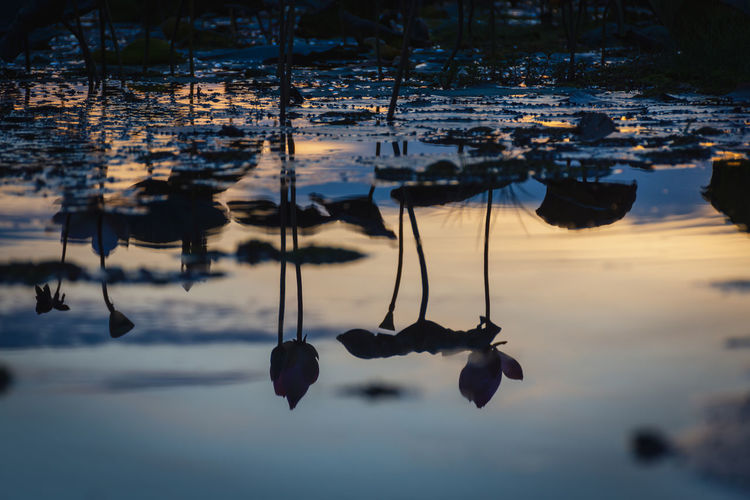 Water Reflection Nature Lake Beauty In Nature Selective Focus Sunset Outdoors Tranquility Scenics - Nature Plant Lotus