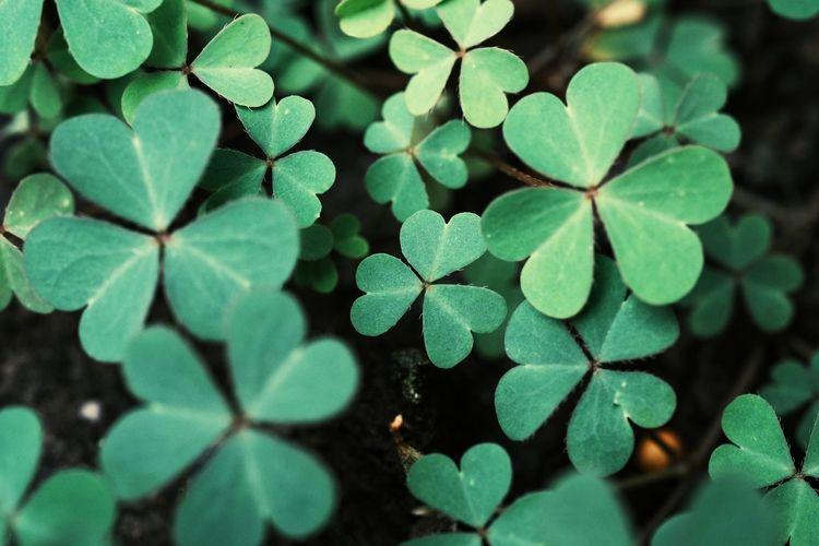 Green background with three-leaved shamrocks. st. patrick's day holiday symbol.