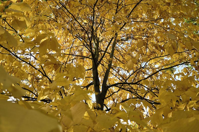 Kew Gardens, October 2018 Tree Plant Nature Growth Day Outdoors Yellow Fall Autumn Arbor Branch Change Low Angle View No People Beauty In Nature Full Frame Natural Condition Nature Color colour of life My Best Photo Springtime Decadence