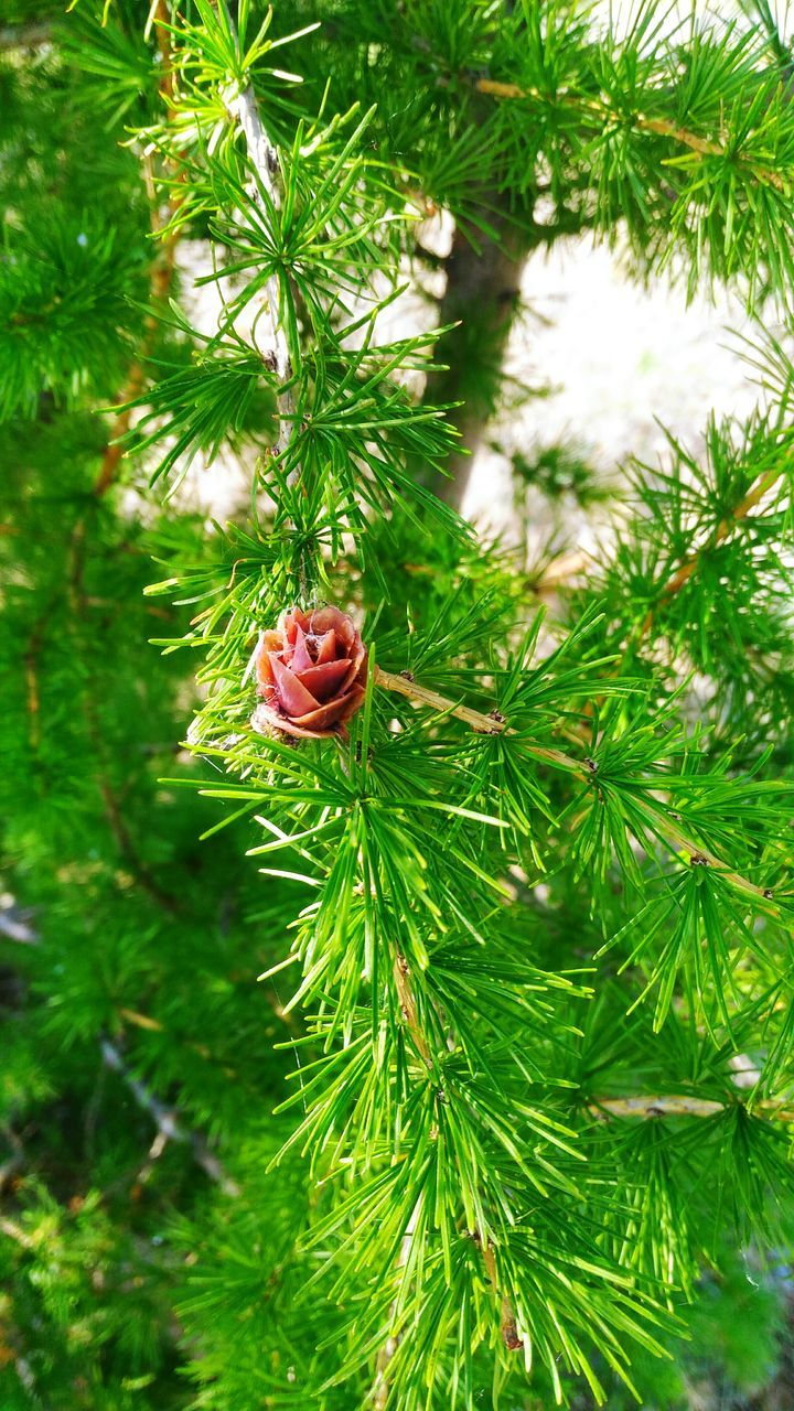 plant, growth, tree, green color, beauty in nature, nature, day, no people, close-up, flower, branch, flowering plant, freshness, pine tree, focus on foreground, outdoors, pine cone, fragility, plant part, leaf, coniferous tree, flower head, needle - plant part