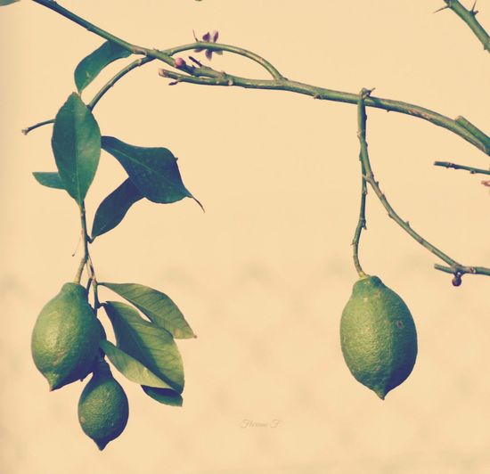 Close-up of green lemon tree against sky