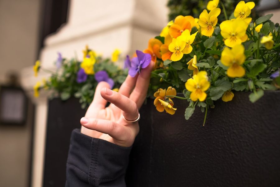 Beautiful Flower Flower Head Flower Pot Focus On Foreground Fragile Fragile Beauty Fragility Freshness Hand Holding Human Finger Immaculate In Order Person Petal Plant Potted Plant Sensitive Sensitivity Spring Well-kept Women Yellow